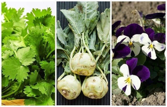 Совместимость овощей на грядке: картофель нельзя сажать с томатами