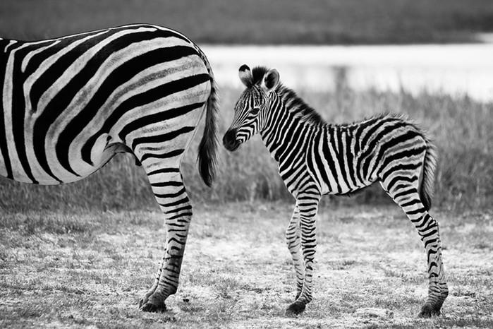 Черно белые фотографии диких животных (23 фото)