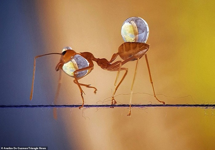 Удивительные фотографии муравьев