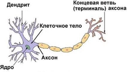 Новые факты о нервных клетках