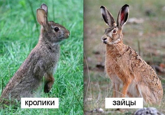 Какую скорость бега развивают кролики и зайцы