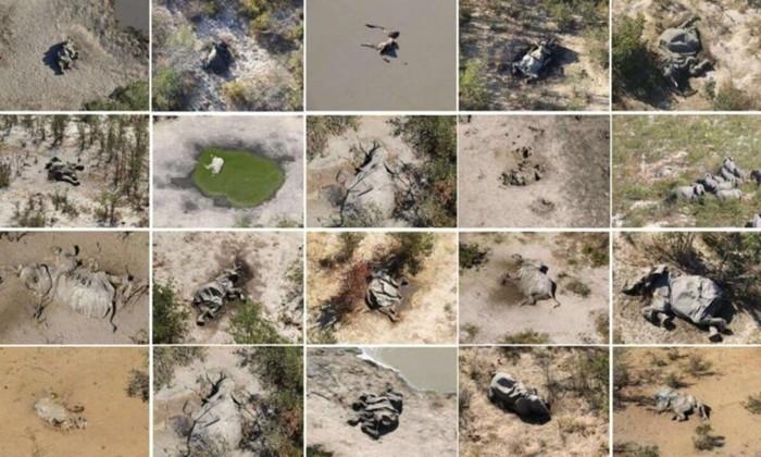 ВБотсване понепонятной причине погибли сотни слонов