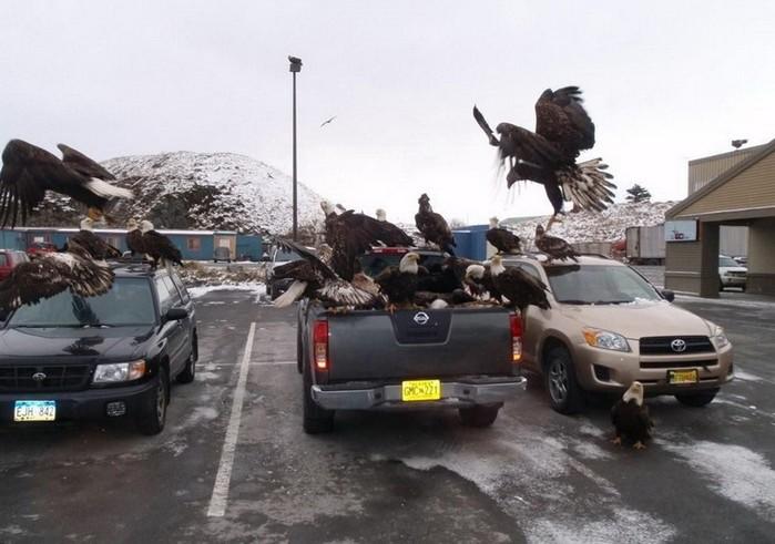 Город на Аляске, где орланов больше, чем ворон