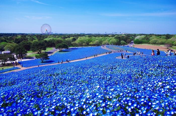 Hitachi-Seaside-Park-Япония (700x463, 271Kb)