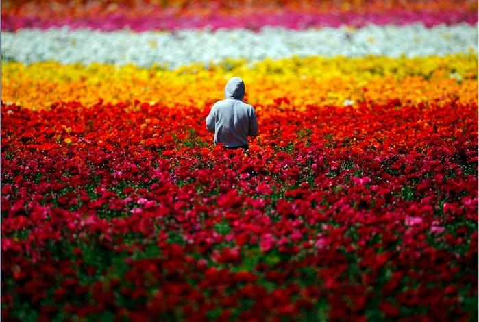 Карлсбадские-цветочные-поля-Лос-Анджелес-США (700x470, 105Kb)