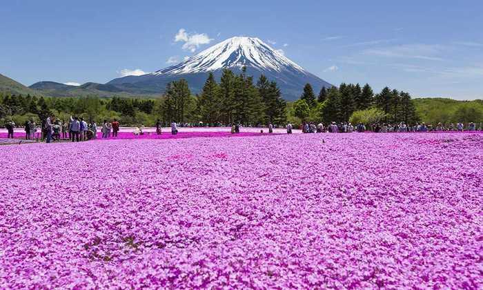Фестиваль-Цветов-Фудзи-Шибазакура-Япония (700x420, 57Kb)