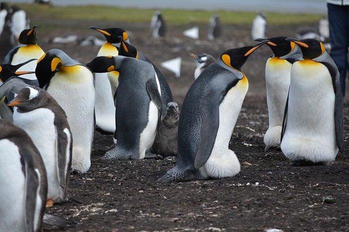 50 интересных фактов о пингвинах