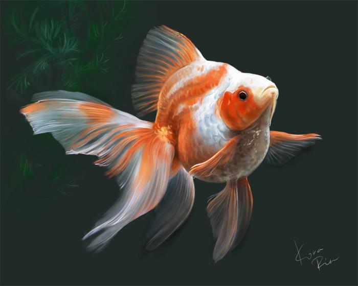 Самец золотой рыбки имеет наросты в виде пилки на первом луче грудного...