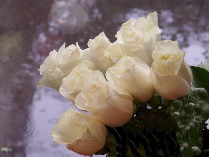 Розы и дождь.
