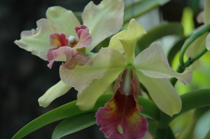 Род дендробиум — Dendrobium Название дано в связи с эпифитным образом жизни (от греч. dendron — дерево, bios — жизнь, буквально — живущий на дереве). Род дендробиум - один из самых крупных среди орхидей, насчитывает около 2000 видов и огромное количес